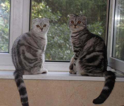Сколько дней кошка просит кота. течка у шотландских кошек