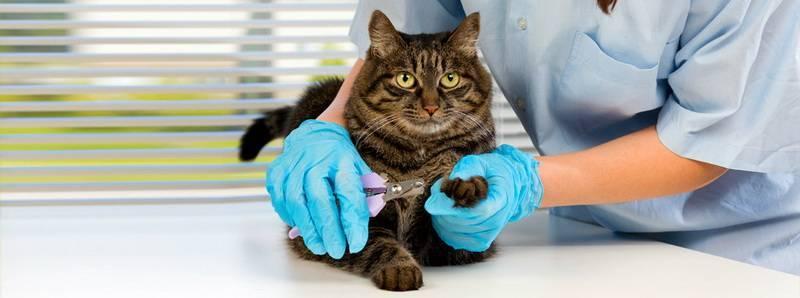 Чумка у кошек: симптомы