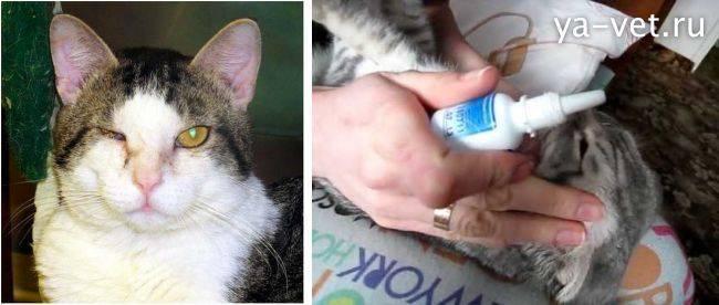У котенка гноятся глаза: причины, лечение в домашних условиях