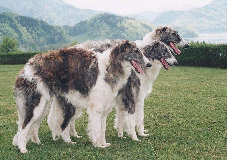 Борзая русская собака. описание, особенности, уход и цена русской борзой