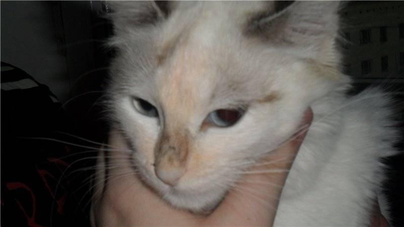 Сухой нос у кошек: разбираем причины и последующие действия владельцев