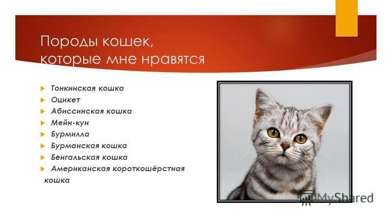 Кто такие британские кошки: описание породы, её особенности и разновидности