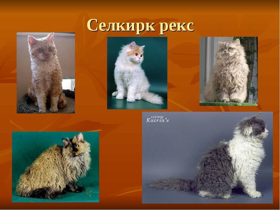 Особенности характера, содержания и ухода за кошками селкирк рекс