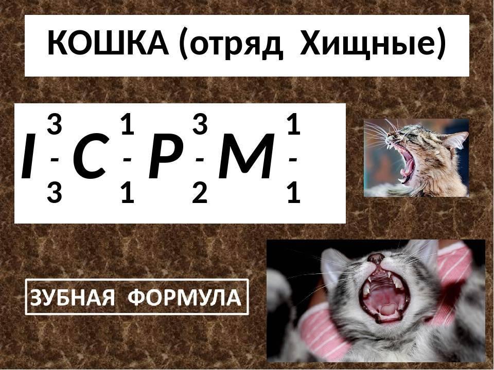Сколько зубов у кошки: сроки появления и смены, гигиена полости рта