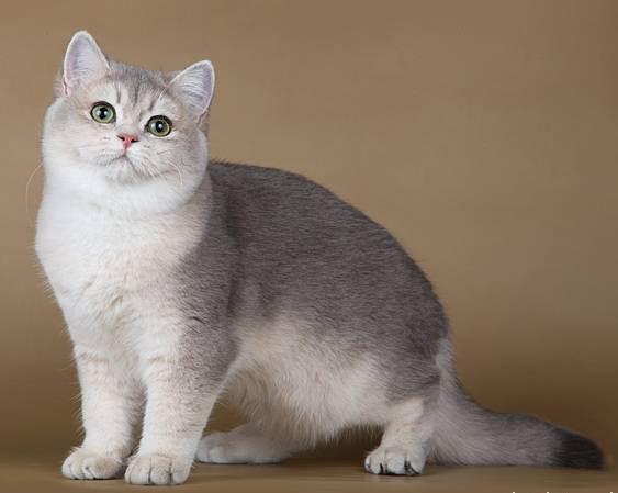 Британская короткошерстная кошка: обзор породы, цена, содержание, уход и особенности характера кошки (130 фото)