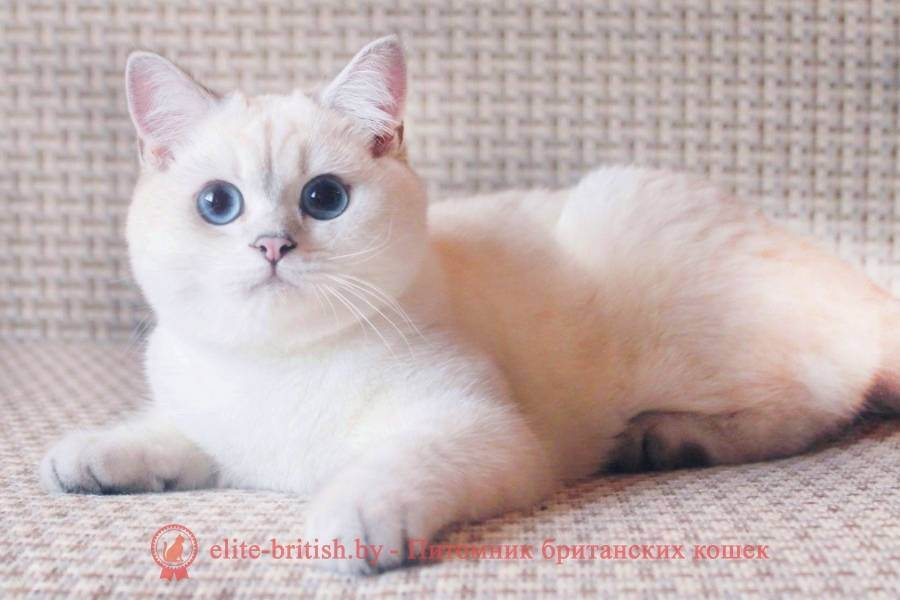 Окрасы шотландских кошек (31 фото): описание котят и котов голубого и черепахового, шоколадного и другого окраса