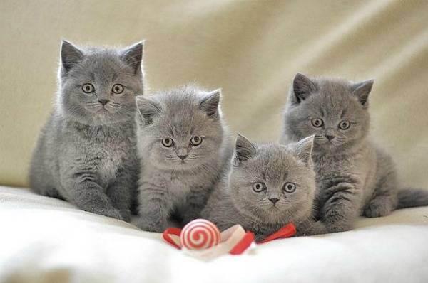 Британская вислоухая кошка: характер, уход, здоровье, особенности