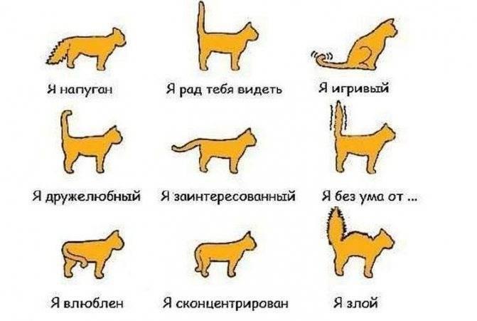 Хвост шотландской кошки — барометр здоровья