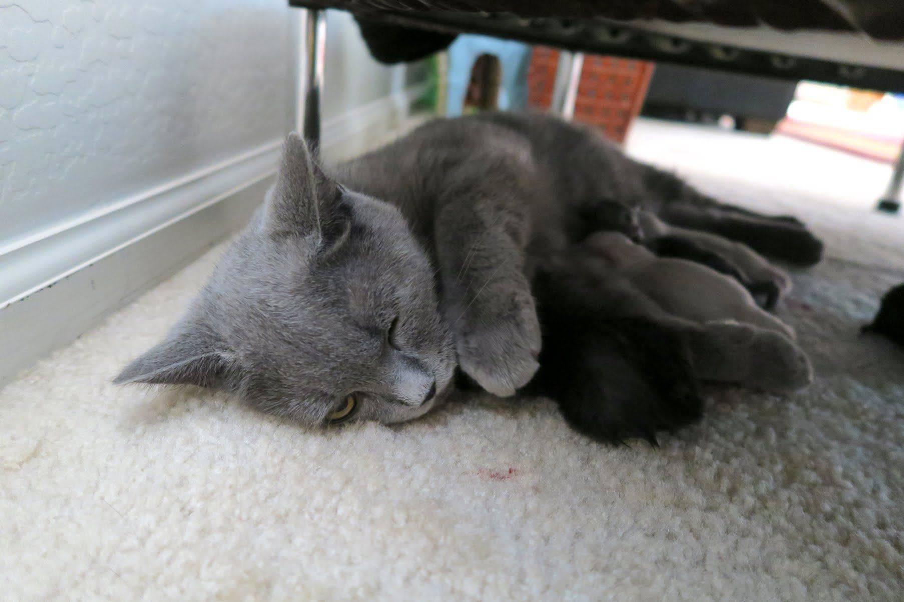 Кошка кричит после родов. почему кошка после родов беспокойная и мяукает