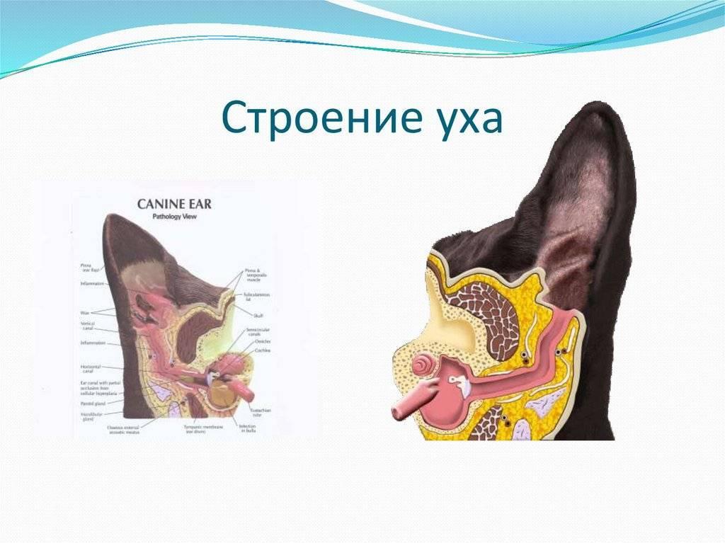 Строение ушей кошки: анатомия, уход, заболевания