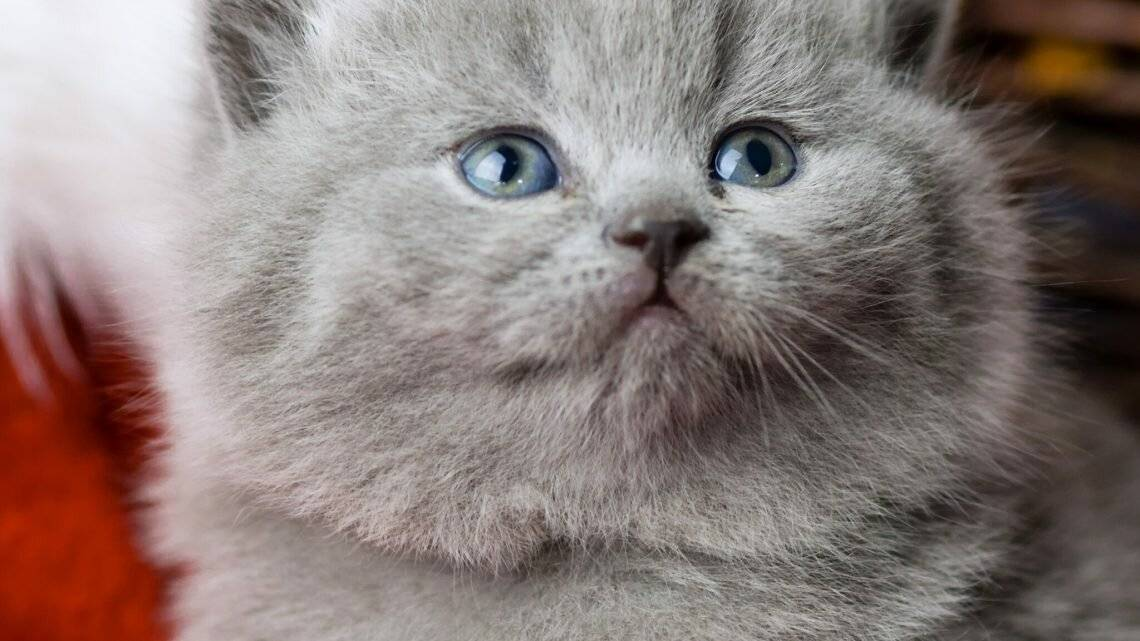 Как кошки меняют цвет. цвет глаз шотландских кошек. какое значение имеет цвет глаз