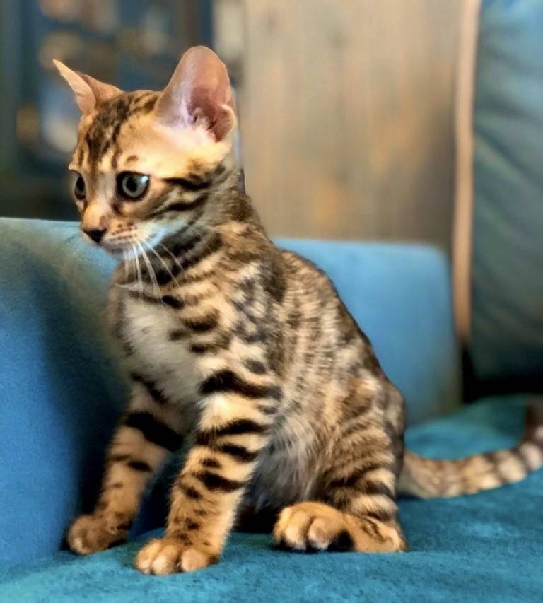 Бенгальская кошка - 75 фото дальневосточной домашней кошки