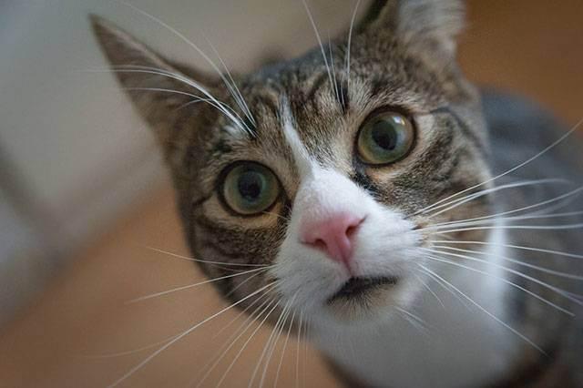 Чумка у кошек: симптомы, лечение в домашних условиях