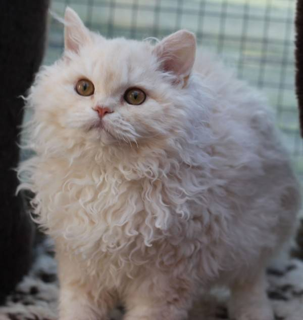 Селкирк рекс: фото кошки, цена, описание породы, характер, видео, питомники