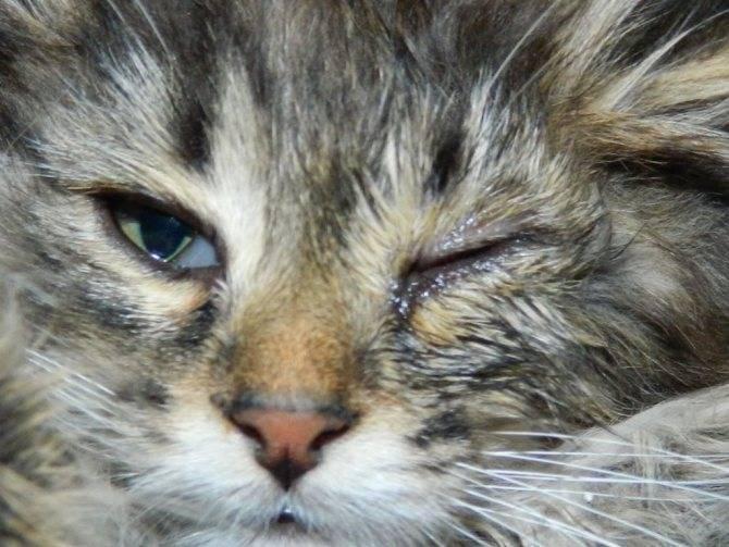 Что делать, если у кошки не открывается глаз?