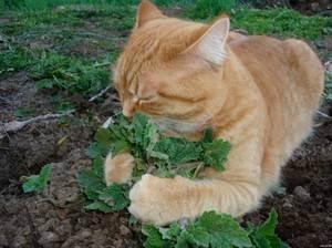 Что такое кошачья мята и для чего она нужна