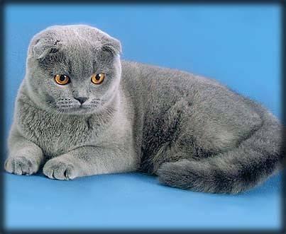 Нормально ли это, если у вислоухой кошки выпрямились уши?