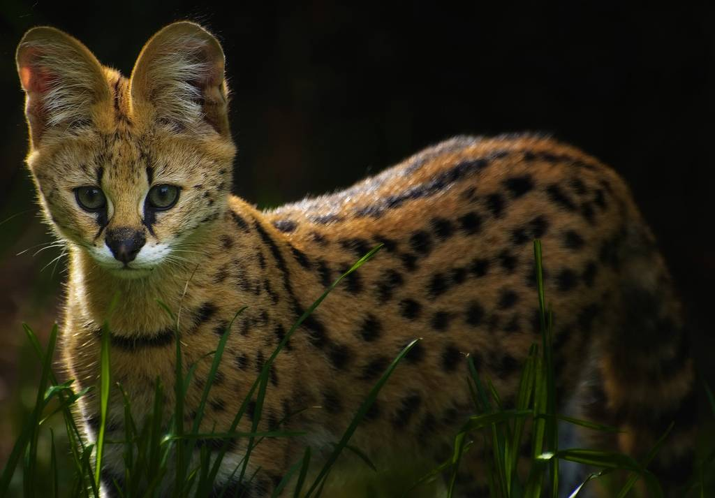 Сервал: фото кошки, цена, характер породы, описание, видео сервал: фото кошки, цена, характер породы, описание, видео