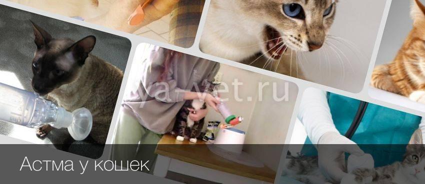 Все о бронхиальной астме у кошки: симптоматика и эффективные способы лечения