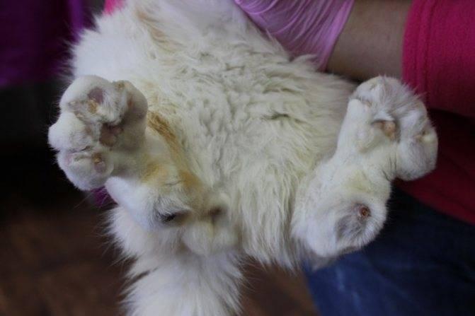 Болезни шотландских вислоухих кошек – симптомы и описание патологий, к которым предрасположена порода