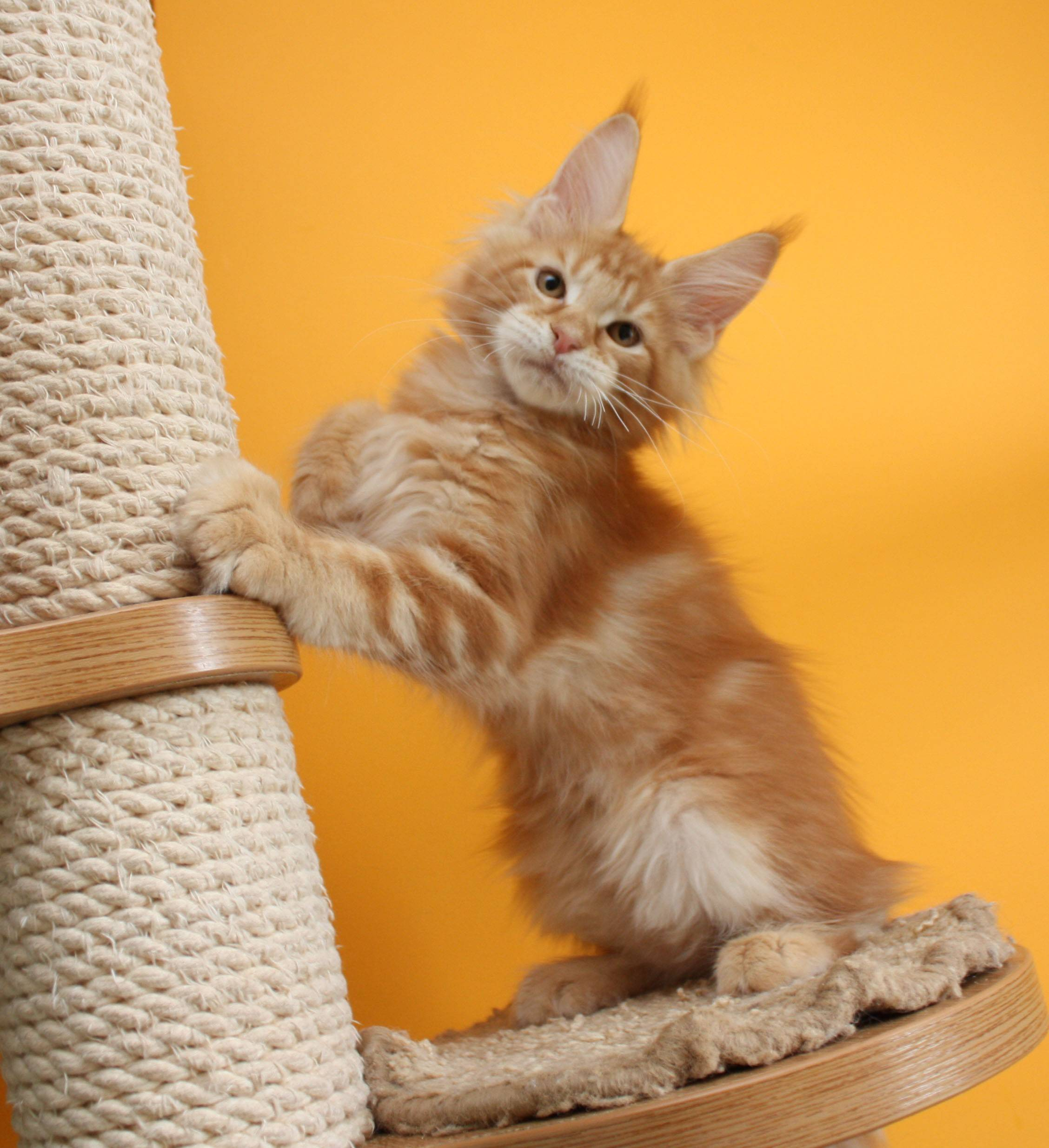 Мейн-кун: порода кошек, описание, фото