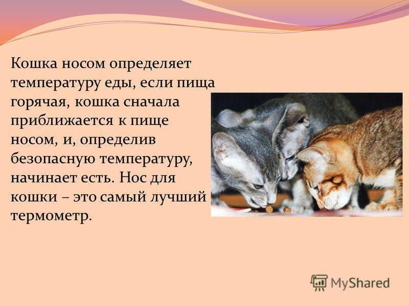 Какой нос должен быть у здоровой кошки - мокрый, холодный, теплый или сухой и о чем свидетельствуют эти показатели и их изменение
