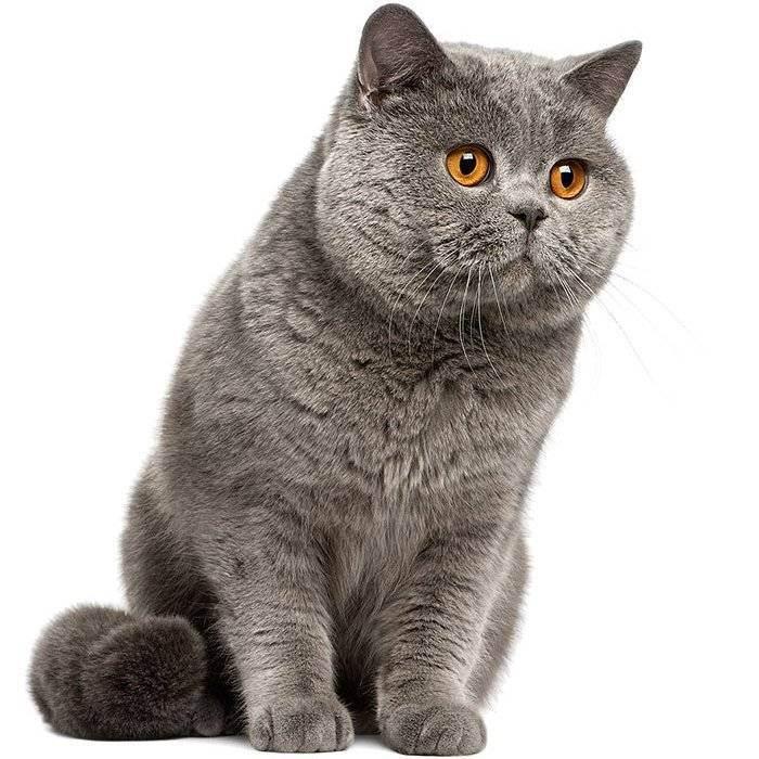 Британский кот: уход и содержание, кормление, заболевания