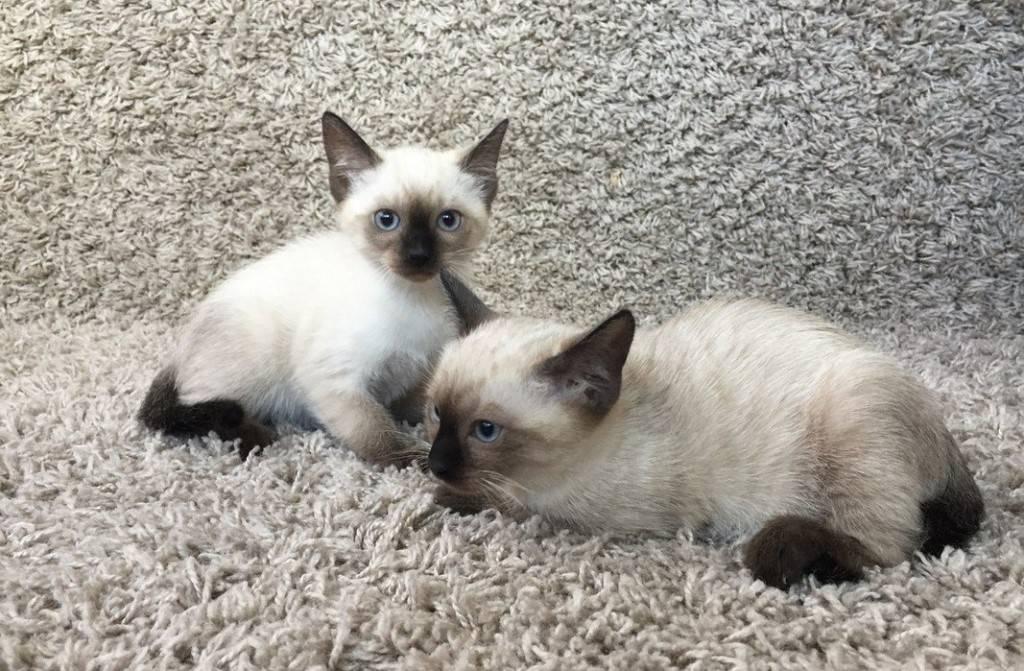 Сиамская кошка: все о кошке, фото, описание породы, характер, цена