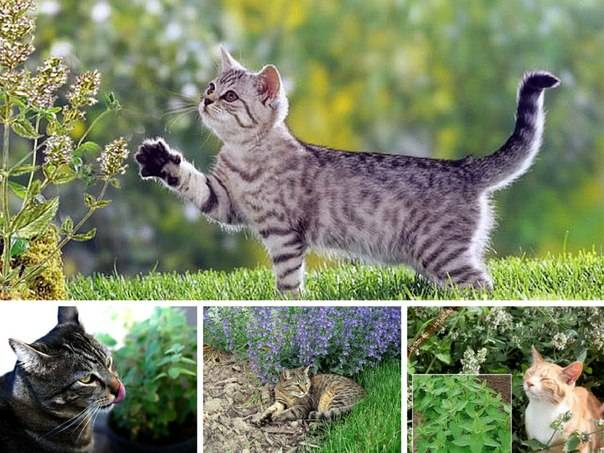 Кошачья мята: за что её так любят коты