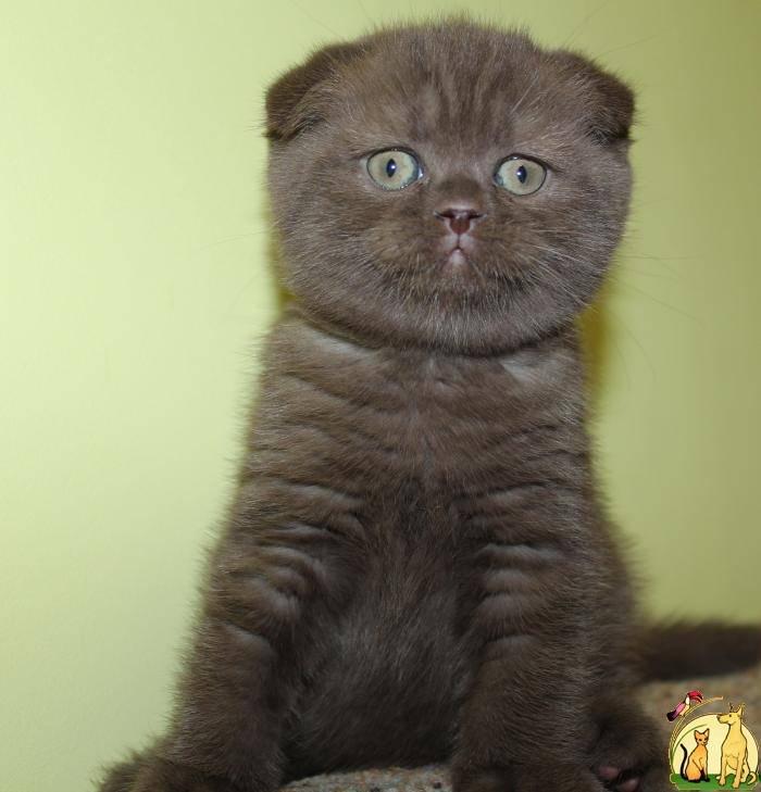 Шотландская вислоухая кошка — стандарт породы, характер, особенности содержания