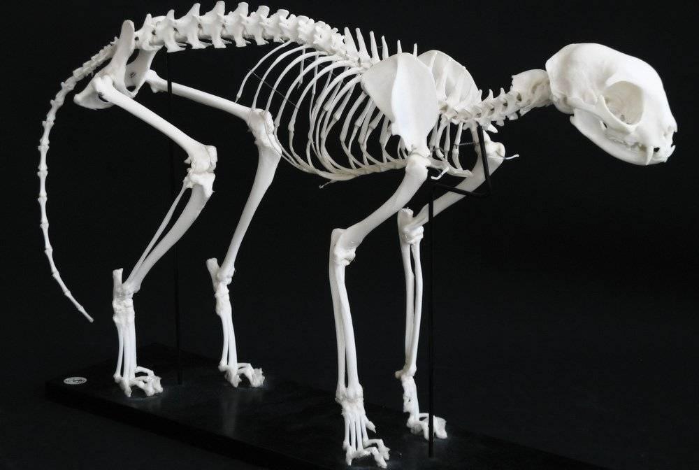Особенности строения кошек: подробное описание анатомии внутренних органов