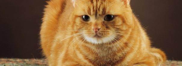 Характер британской кошки: холодный аристократ или плюшевый друг?
