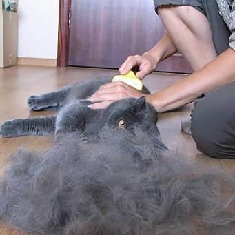 Британский кот чешется и выпадает шерсть. почему у кошки выпадает и лезет шерсть: причины и лечение, что делать в домашних условиях, витамины.