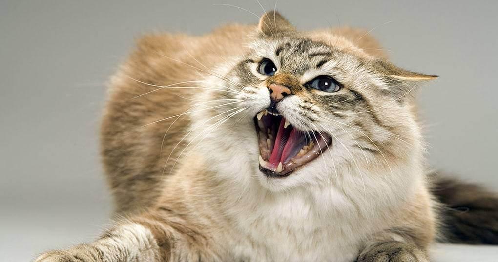Почему кошка шипит на котят и что с этим делать