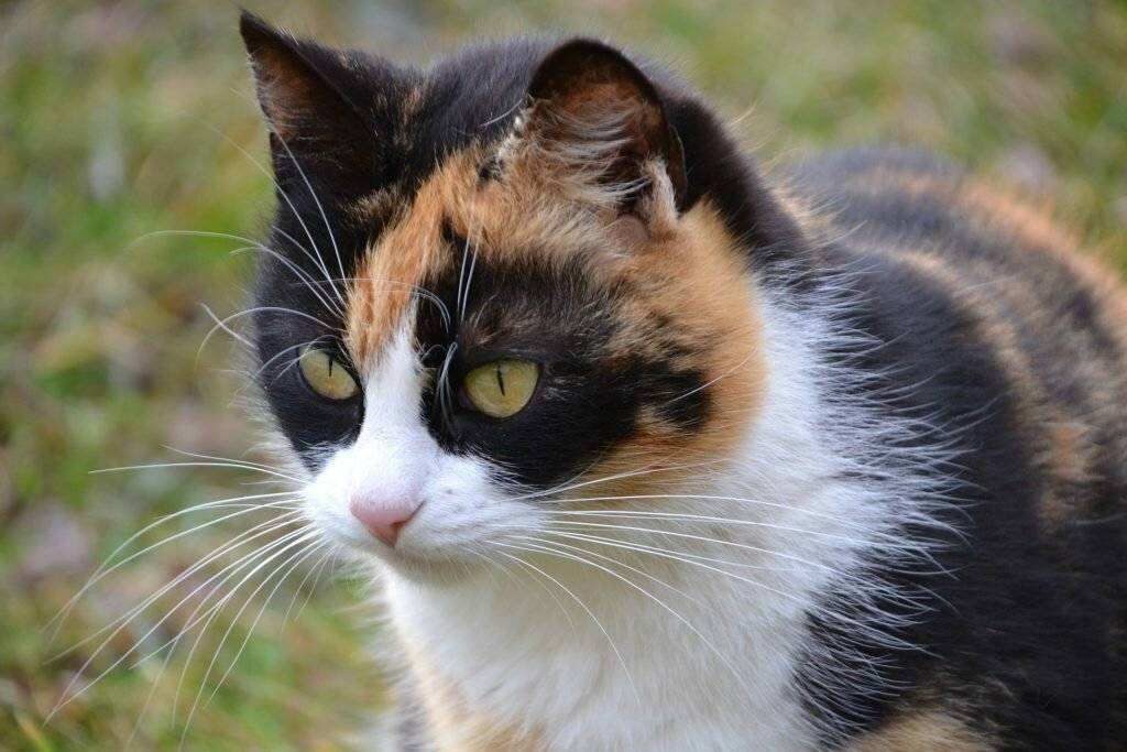 Бывают ли трехцветные коты мужского пола?