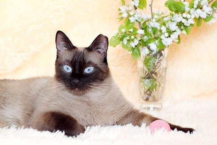 Тайская кошка: облик, нрав и особенности содержания