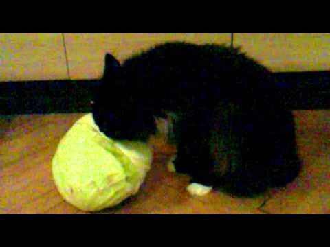 Нужны ли овощи кошкам: полезная информация о рациональном питании