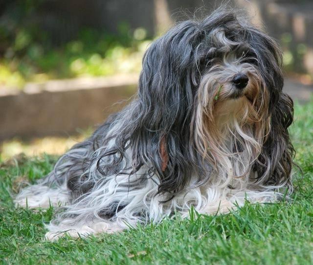 Гаванский бишон (гаванез) : описание породы собак с фото и видео