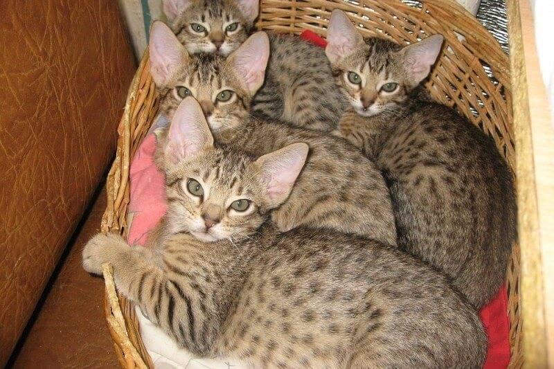 Оцикет: описание породы, фото кошки, характер, цена и отзывы владельцев