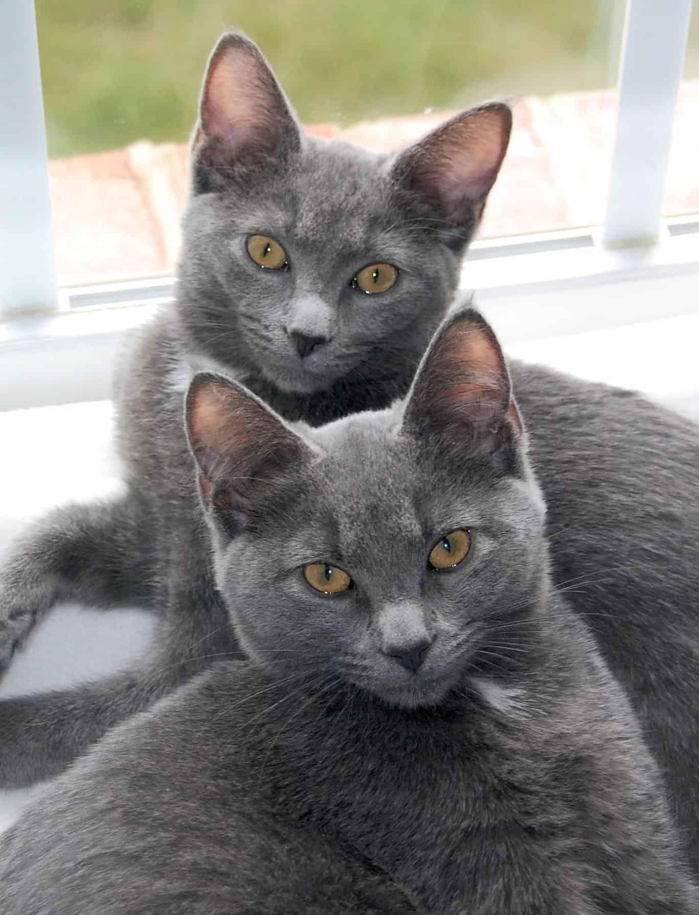 Кошки корат: характер, особенности ухода, история возникновения