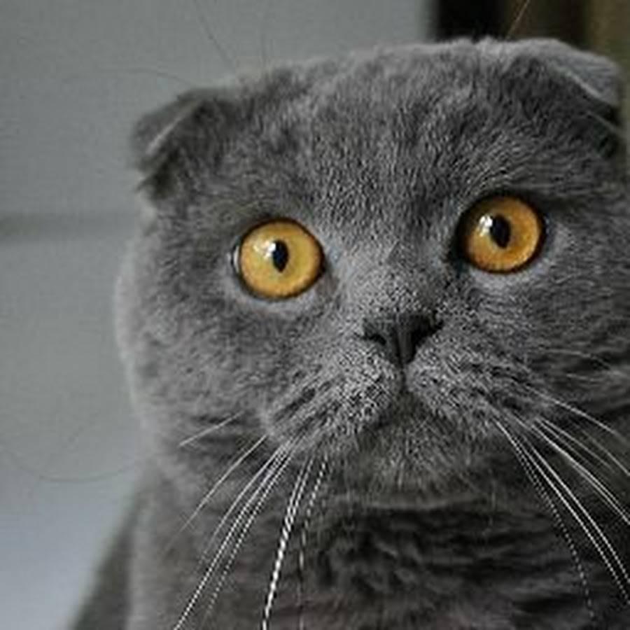 Болезни шотландских вислоухих кошек и их симптомы проявления