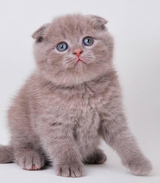 Сколько стоит британский, бенгальский, шотландский вислоухий котенок   как формируется цена на кошку, кота, котенка экзота, сфинкса