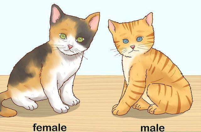 Как выбрать котенка шотландской вислоухой – советы и рекомендации