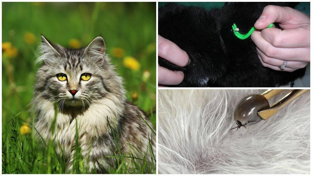 Как самостоятельно удалить клеща у кошки и средства защиты от кровососов
