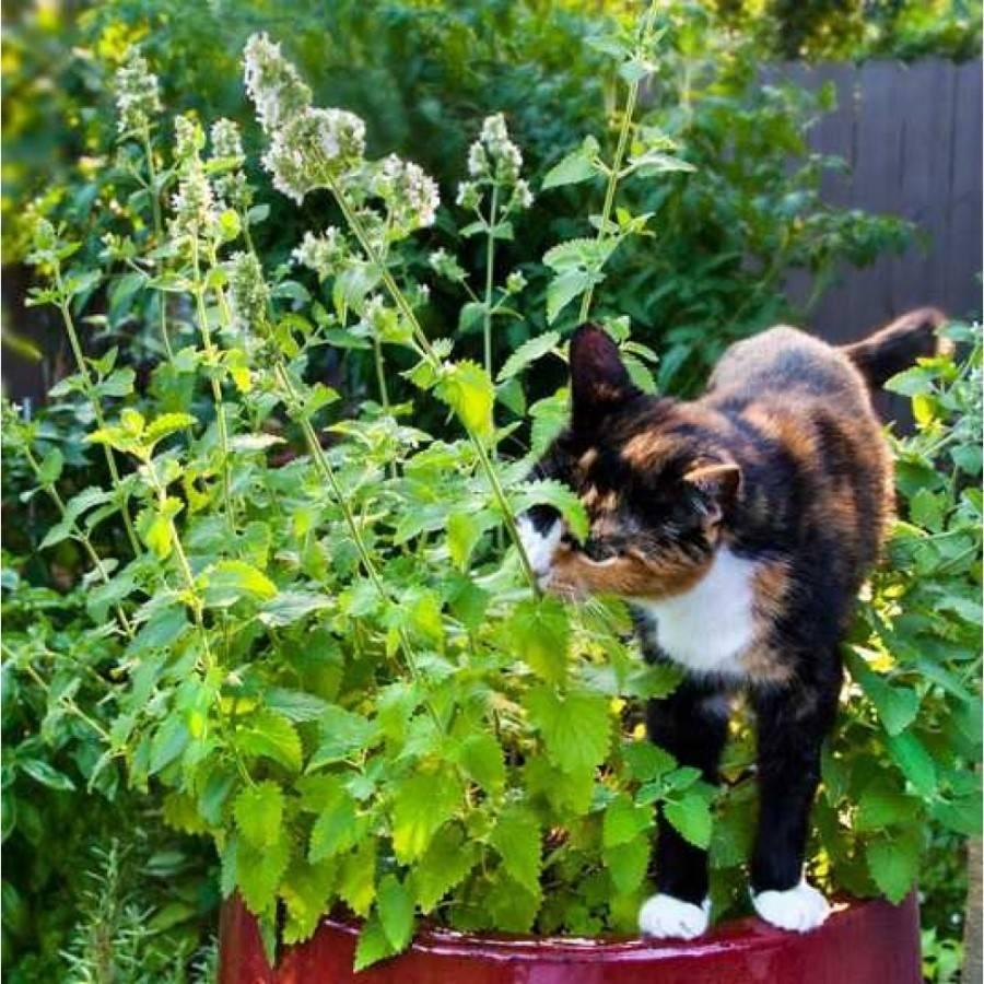 Кошачья мята: для чего она нужна, чем отличается от обычной, как эта трава действует на животных, вредна ли, описание, как выглядит такое растение, а также фото