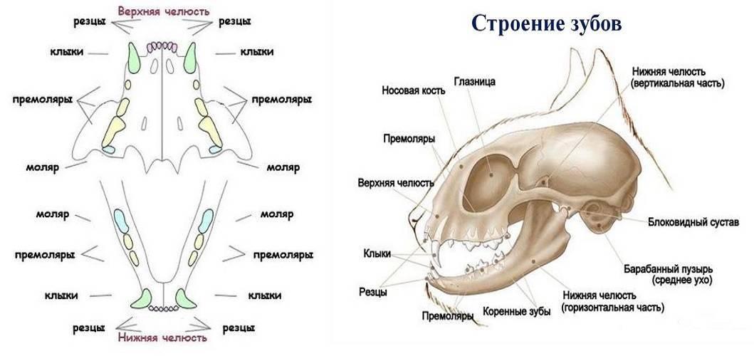 Строение зубов у кошек