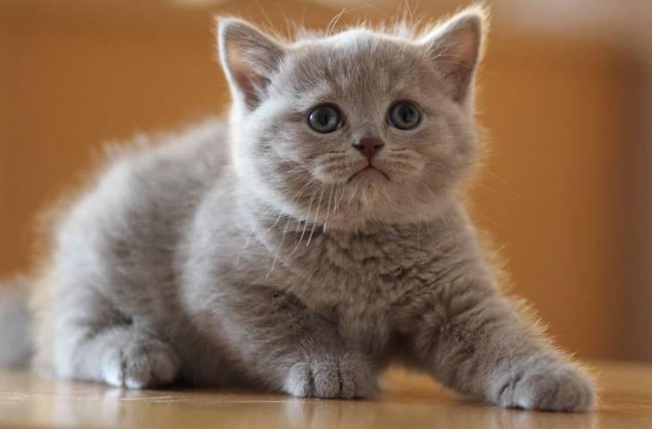 С какого возраста можно купать котят британцев? как правильно мыть в первый раз?