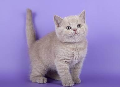 Сомнения в породе кошечки, помогите разобраться - британский котенок не становится плюшевой - запись пользователя анастасия (kisa33) в сообществе домашние животные в категории помогите советом - babyblog.ru