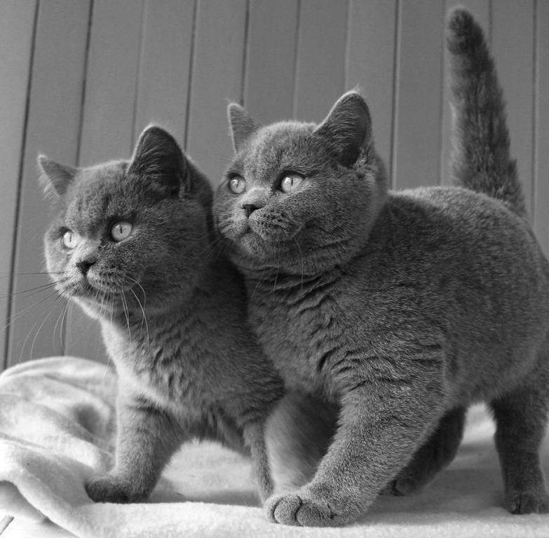 Кошки длинношёрстной породы