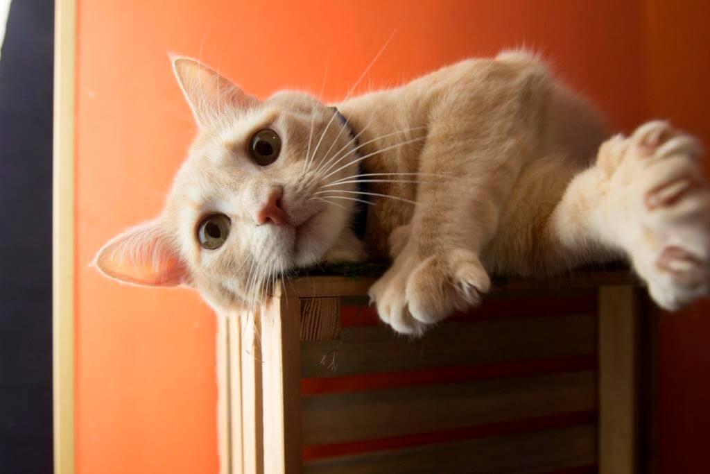 Что делать если британский кот линяет и весь дом в шерсти
